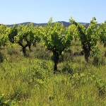 Hump Day: Wine Tasting in Pic Saint Loup